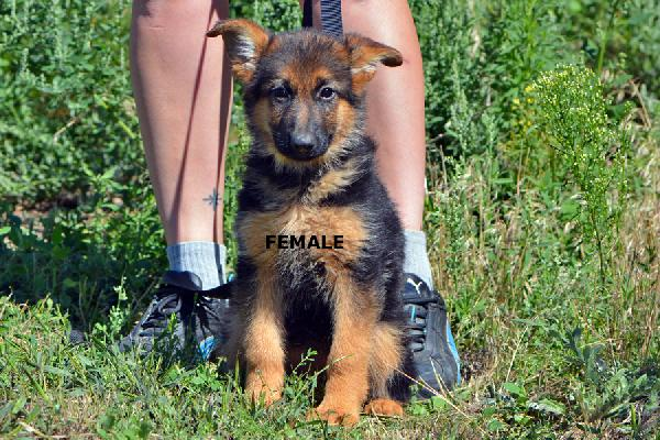 Female - Raimo And Violet Puppies