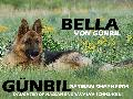 Gunbil German Shepherds - Stars