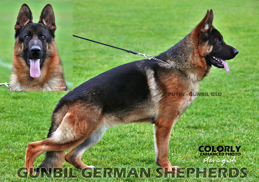 shepherd latin singles Magnes the shepherd,  dating from approximately 900  the shepherd's name has been often cited as giving rise to the latin root word and etymological source of .