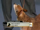 AKC Recognized New Dog Breeds (2011)