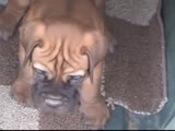 BullMastiff Puppies Frisky  Playing