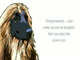 Afghan Hound Video ...