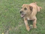 Border Terrier The Essential Guide