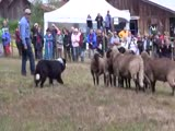 Border Collie Herding Sheep Salt Spring Isl...