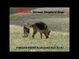Gunbil German Shepherds
