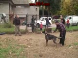 Attack Trained Dutch Shepherd