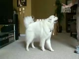 Samoyed Dogs 101