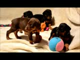 5 week old Doberman...