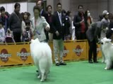 Samoyed FCI Japan i...