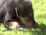 Airedale Terrier - ...
