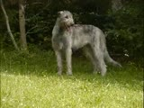 Irish Wolfhound Video