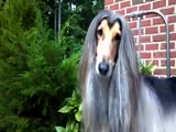 Afghan Hound Thinking Before the Show