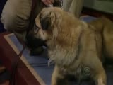 Anatolian Shepherd Dog protects the Cheetah