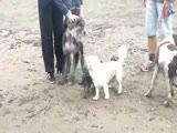 Wally the Afghan Hound Chased