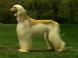 Afghan Hound - Dog Breed Video (Chapter 1)