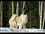 Akita - Please watch video if you love Akit...